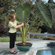 Jack's Giant Elephant Ear