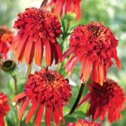 Echinacea Cone-Fections™ Hot Papaya