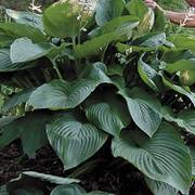 Hosta Shadowland® Empress Wu