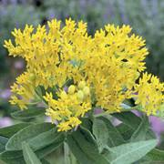 Asclepias Hello Yellow