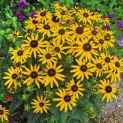 Rudbeckia Little Goldstar