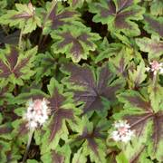 Sugar and Spice Foamflower