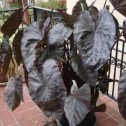 Diamond Head Colocasia esculenta Elephant Ear Plant
