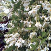 Styrax Fragrant Fountain
