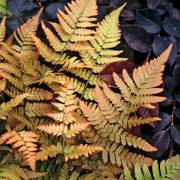 Brilliance Autumn Fern