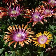 Fire Spinner® Iceplant