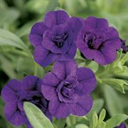 Calibrachoa MiniFamous™ Double Blue