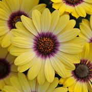 Blue-eyed Beauty African Daisy (pack of 3)