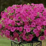Surfinia® Sumo Pink Petunia (pack of 3)