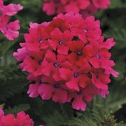 Verbena EnduraScape™ Hot Pink (pack of 3)