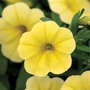 MiniFamous® Calibrachoa Neo Deep Yellow