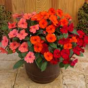 SunPatiens® Summer Salsa Impatiens Combination (pack of 3)