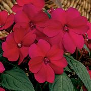 SunPatiens® Compact Royal Magenta Impatiens (pack of 3)