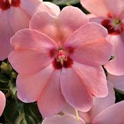 SunPatiens Vigorous Pink Kiss Impatiens (pack of 3)