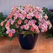 SunPatiens® Vigorous Pink Kiss (pack of 3)