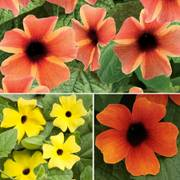 Thunbergia-A-Peel® Combination