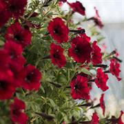 Supertunia Black Cherry (pack of 3)
