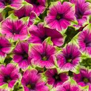 Supertunia® Picasso in Purple®