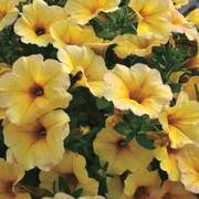 Petunia SuperCal® Light Yellow (Pack of 3)