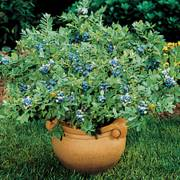 Sunshine Blue Dwarf Blueberry