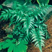 Athyrium Japanese Painted Fern