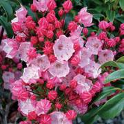 Kalmia Olympic Fire