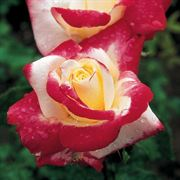 Double Delight Hybrid Tea Rose