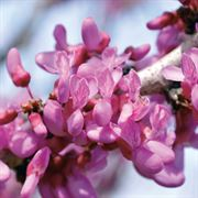 The Rising Sun™ Redbud