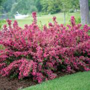 Weigela Sonic Bloom™ Pink