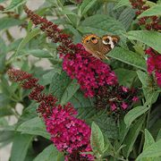 Miss Molly Buddleia Butterfly Bush