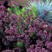 Sedum SunSparkler® Cherry Tart