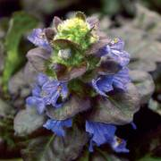 Black Scallop Bugleweed