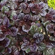 Black Scallop Bugleweed Plant
