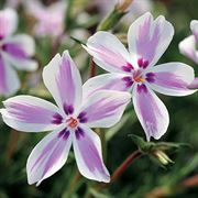 Border plants bright and beautiful perennials from wayside gardens phlox candy stripe mightylinksfo