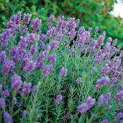Lavandula Phenomenal®