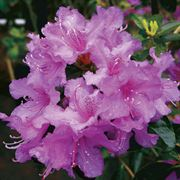 Azalea Abbeys Re-View