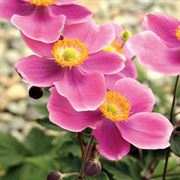 Anemone Lucky Charm Japanese
