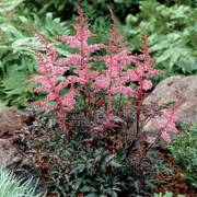 Astilbe Key West