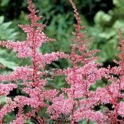Key West Astilbe