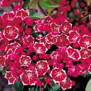 Keepsake Kalmia latifolia Mountain Laurel Shrub