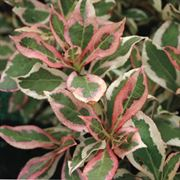 Weigela My Monet®