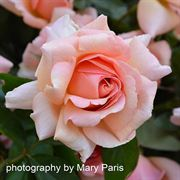 Dr. Jane Goodall Hybrid Tea Rose