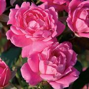 Rosa Pink Double Knock Out®