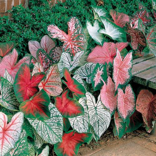 Caladium Fancy-Leaved Mixed Bulbs - Pack of 5