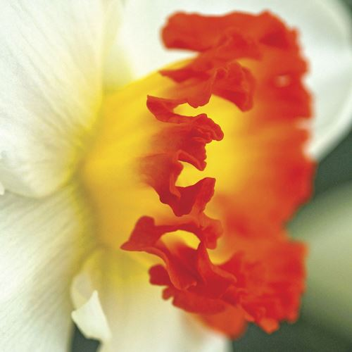 Narcissus Ring of Fire