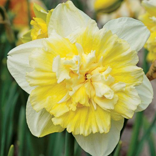 Narcissus Ice King - Pack of 10