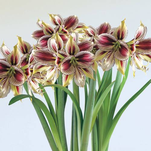 Pappillo Amaryllis Bulbs