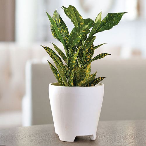 Gold Dust Croton Houseplant