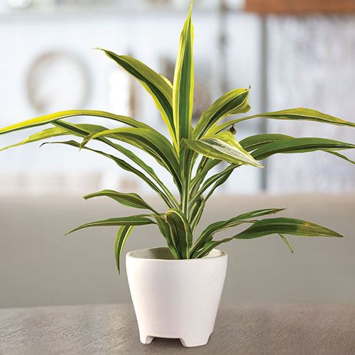 Dracaena Lemon Lime Houseplant