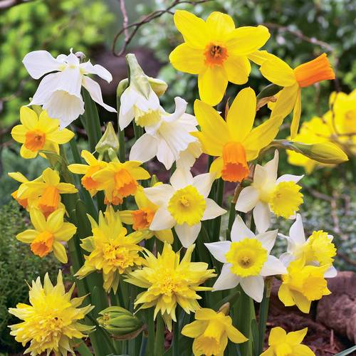 Narcissus Daffodil Garden Box Collection
